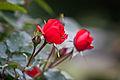 Rose, Trumpeter - Flickr - nekonomania (2).jpg