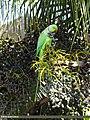 Rose-ringed Parakeet (Psittacula krameri) (15886075721).jpg