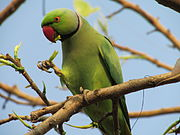 Green parrot with red beak and pink neck ring