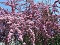 Rosybloom Crabapple (2527371268).jpg