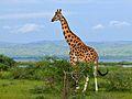 Rothschild's Giraffe (Giraffa camelopardalis rothschildi) male (6921966788).jpg