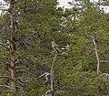 Rough-legged Buzzard (Buteo lagopus) Muddus.jpg
