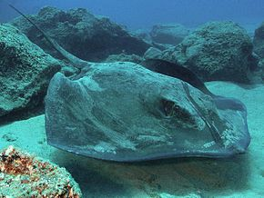 Description de l'image Roughtail stingray tenerife.jpg.