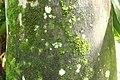 Roystonea regia 23zz.jpg