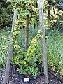 Rubus fuscus - Botanischer Garten, Frankfurt am Main - DSC02500.JPG