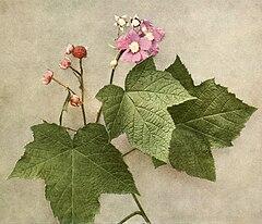 Rubus odoratus WFNY-101-7x6.jpg