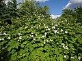 Rubus parviflorus Valkovatukka Nutkahallon C DSC03154.JPG