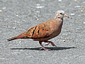Ruddy Ground-Dove RWD2.jpg