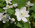 Rue Anemone Thalictrum thalictroides Flower 2479px.jpg
