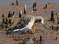 Ruff, Philomachus pugnax, at Marievale Nature Reserve, Gauteng, South Africa (20996887892).jpg