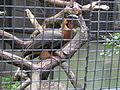 Rufous hornbill zoo prague 2012.JPG