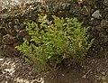 Ruscus aculeatus 20090807 1.jpg