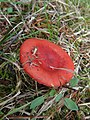 Russula americana Singer 504739.jpg