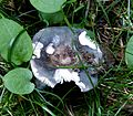 Russula sp. - Flickr - gailhampshire (3).jpg