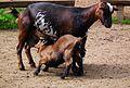 Säugende Ziege Wildpark Alte Fasanerie Klein-Auheim Juni 2012.JPG
