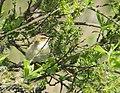 Sävsångare Sedge Warbler (14109446076).jpg