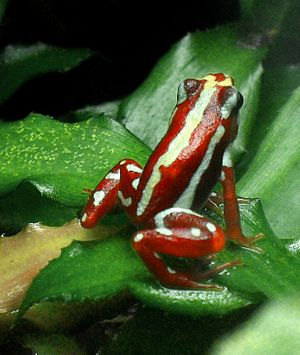 Anthony's poison arrow frog - An individual in the Leipzig Botanical Garden, Germany