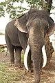 Sakrebailu elephant camp 2.jpg