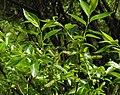 Salix pentandra RF.jpg