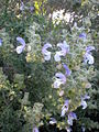 Salvia africana 2c.JPG