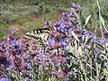 Salvia dorrii-5-26-05.jpg