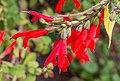 Salvia gesneriiflora, Christchurch Botanic Gardens, Canterbury, New Zealand 05.jpg