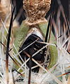 Samenkapsel - Turbinicarpus beguinii (14160109380).jpg