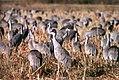 Sandhill cranes in a field (5039492063).jpg
