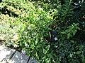 Saponaria officinalis (28801536305).jpg