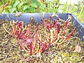 Sarracenia (alata x flava) x open-pollinated seedlings (5108571019).jpg