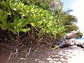 Scaevola taccada Habitus Beqa Fiji.jpg
