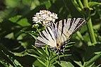 Scarce swallowtail (Iphiclides podalirius) Bulgaria.jpg