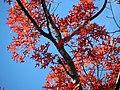 Scarlet Oak (31193578541).jpg
