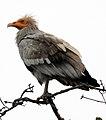 Scavenger Vulture Neophron percnopterus by Dr. Raju Kasambe DSCN7176 (1).jpg