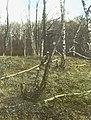 Schade, hogere planten, zwammen, berken, berkenboomzwam, Bestanddeelnr 194-0452.jpg