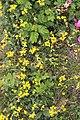 Schiermonnikoog - Gewone rolklaver (Lotus corniculatus).jpg