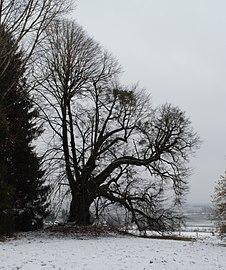 Schlosslinde Rufling NDM.jpg