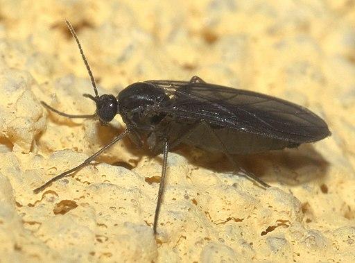 Sciaridae P1160441a