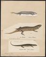 Scincus ocellatus - 1700-1880 - Print - Iconographia Zoologica - Special Collections University of Amsterdam - UBA01 IZ12600075.tif