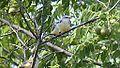 Scissor-tailed Flycatcher Fledglings (8288098437).jpg