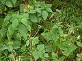 Sclerocarpus africanus Jacq. (9971581073).jpg