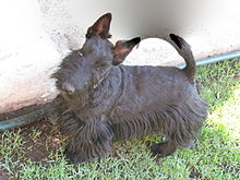Scottish Terrier Blue.JPG