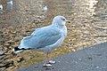 Seagull (37972841486).jpg