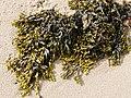 Seaweed - Bladderwrack Fucus vesiculosus (25465284648).jpg