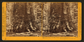 Section of the Grizzly Giant, looking up, Mariposa Grove, Mariposa County, Cal, by Watkins, Carleton E., 1829-1916.png