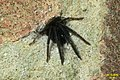 Segestria florentina 4 (FG) (32651770860).jpg