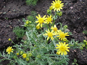Description de l'image Senecio vernalis001.JPG.