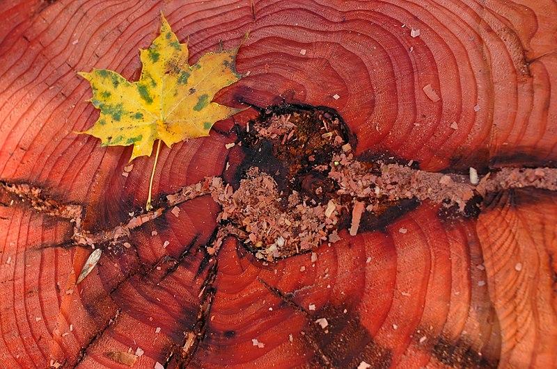 File:Sequoiadendron giganteum bole.jpg