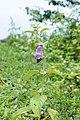 Sesamum indicum1408.jpg