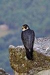 Shaheen falcon.jpg